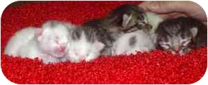 Domestic Shorthair Kitten for adoption in Bay City, Michigan - Wednesday Babies