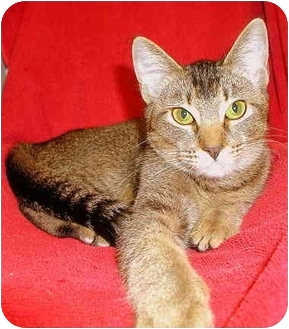 Abyssinian Cat for adoption in San Diego, California - Venus