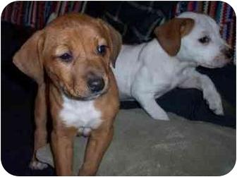 Terrier (Unknown Type, Medium) Mix Puppy for adoption in Tahlequah, Oklahoma - Leela, Ellie