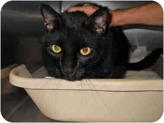 Domestic Shorthair Cat for adoption in San Clemente, California - CHANCE