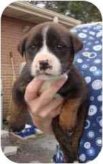 Boxer/Labrador Retriever Mix Puppy for adoption in Baltimore, Maryland - PENNY