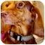 Photo 3 - Dachshund/Hound (Unknown Type) Mix Dog for adoption in Old Bridge, New Jersey - Melissa