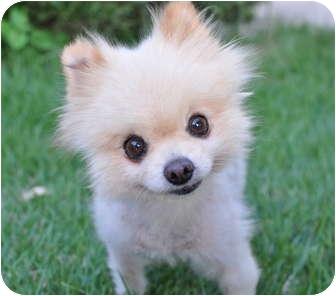 Pomeranian Dog for adoption in Austin, Texas - Luigi