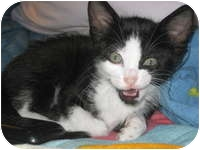 Domestic Shorthair Kitten for adoption in Tampa, Florida - Wolfgang