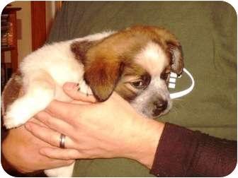 St. Bernard/Beagle Mix Puppy for adoption in Webster, Minnesota - Tina