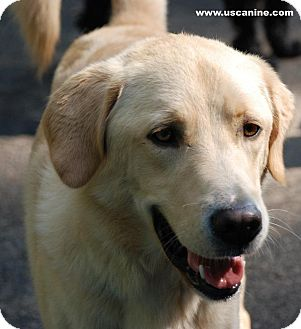 Labrador Retriever/Golden Retriever Mix Dog for adoption in Knoxville, Tennessee - Dell