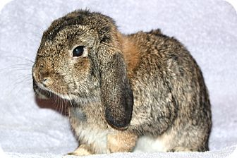 Lop-Eared Mix for adoption in Scotch Plains, New Jersey - Harry