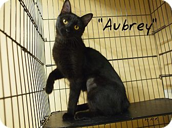 Domestic Shorthair Cat for adoption in Ocean City, New Jersey - Aubrey