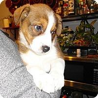 Adopt A Pet :: Sweetheart Puppies - Hamilton, ON
