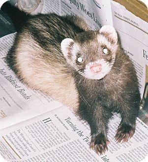 Ferret for adoption in Hartford, Connecticut - Zoey