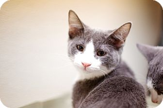 Domestic Shorthair Kitten for adoption in Las Vegas, Nevada - Chubstee