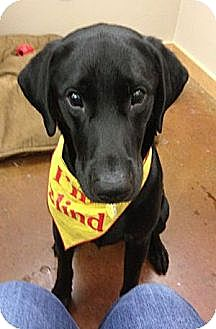 Labrador Retriever Dog for adoption in San Francisco, California - Moose