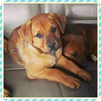 Golden Retriever/German Shepherd Dog Mix Puppy for adoption in Chicago, Illinois - WILLOW