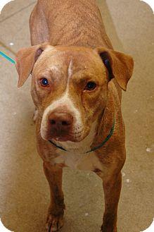 American Bulldog Mix Dog for adoption in Bucyrus, Ohio - Freddie Mercury