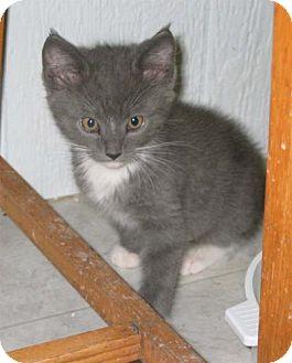 Domestic Shorthair Kitten for adoption in Salem, Oregon - Gillian (shelter)