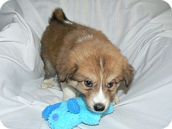 Collie Mix Puppy for adoption in ST LOUIS, Missouri - Barney