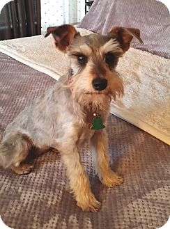 Miniature Schnauzer Dog for adoption in Sharonville, Ohio - Maya
