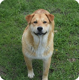 Golden Retriever/Labrador Retriever Mix Dog for adoption in knoxville, Tennessee - HANK