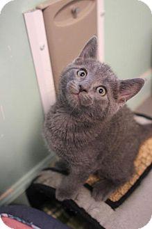 Domestic Shorthair Kitten for adoption in Atlanta, Georgia - Becker