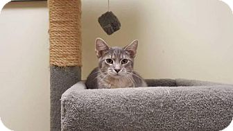 Domestic Shorthair Cat for adoption in Balto, Maryland - Wolfie
