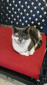 Domestic Shorthair Cat for adoption in Bryson City, North Carolina - Aria
