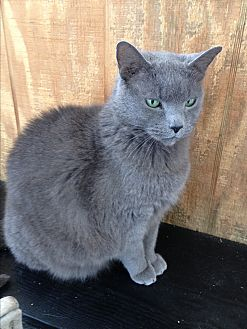 Domestic Shorthair Cat for adoption in Barnwell, South Carolina - Misty - Shadow