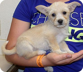 Terrier (Unknown Type, Small)/Chihuahua Mix Puppy for adoption in Corona, California - SUGAR