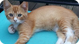 Domestic Shorthair Kitten for adoption in Parkton, North Carolina - Max