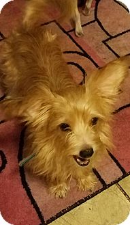 Yorkie, Yorkshire Terrier Mix Dog for adoption in Palatine, Illinois - Quincy