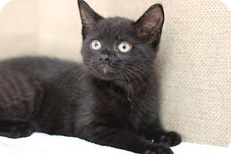 Domestic Shorthair Kitten for adoption in Midland, Michigan - Peele - PICK YOUR PRICE