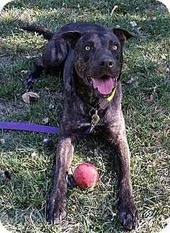 Dutch Shepherd/American Pit Bull Terrier Mix Dog for adoption in Forest grove, Oregon - Conner