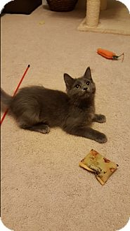 Domestic Longhair Kitten for adoption in Covington, Kentucky - Meredith