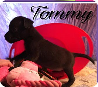 Labrador Retriever/Pit Bull Terrier Mix Puppy for adoption in Cat Spring, Texas - Tommy