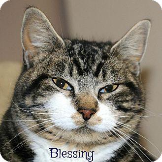 Domestic Shorthair Cat for adoption in Idaho Falls, Idaho - Blessing