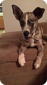 Catahoula Leopard Dog Mix Dog for adoption in ST LOUIS, Missouri - Hippie