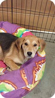 German Shepherd Dog/Labrador Retriever Mix Puppy for adoption in Anderson, South Carolina - Grace