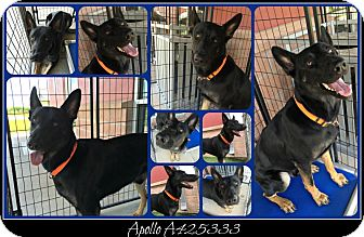 German Shepherd Dog Dog for adoption in SAN ANTONIO, Texas - NITRO