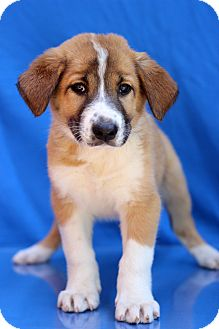 Labrador Retriever Mix Puppy for adoption in Waldorf, Maryland - Clifton