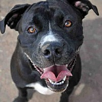 American Bulldog/Labrador Retriever Mix Dog for adoption in Austin, Texas - *DINO