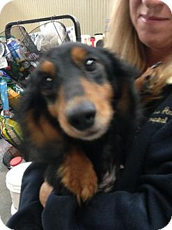 Dachshund Dog for adoption in Holland, Michigan - Angel
