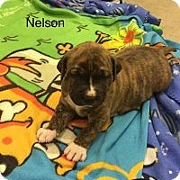 Adopt A Pet :: NELSON - Hampton, VA