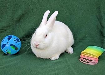 Californian Mix for adoption in Scotts Valley, California - Silkey