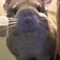 Chinchilla/Chinchilla Mix for adoption in Redmond, Washington - Mai