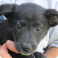 Border Collie/Feist Mix Puppy for adoption in Germantown, Maryland - Phecda
