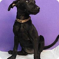 Adopt A Pet :: Ronda - Westminster, CO