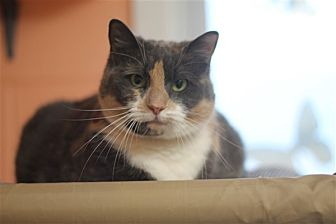 Domestic Shorthair Cat for adoption in North Branch, New Jersey - Pepper