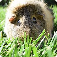 Adopt A Pet :: Gidget - Fullerton, CA