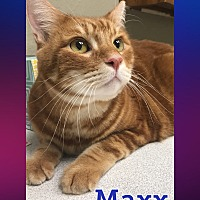 Adopt A Pet :: Maxx - Arlington/Ft Worth, TX