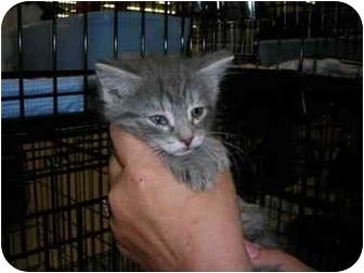 Domestic Shorthair Kitten for adoption in Riverside, Rhode Island - Katie