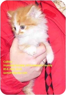Domestic Longhair Kitten for adoption in Somerset, Pennsylvania - Cubby, Cisco & Chewy